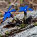 Gentiana terglouensis schleicheri - Photo (c) Hugh Knott,  זכויות יוצרים חלקיות (CC BY-NC-ND)
