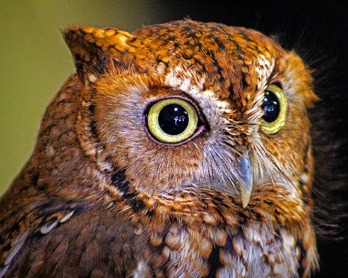 2019.03.09 Sunrise Wildlife at WBU Eastern Screech Owl Ruby 8 | by Admiral Elk