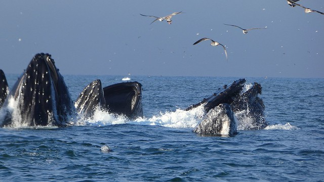 Humpback Whales lunge feeding in Monterey Bay, CA