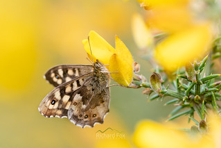 Speckled Wood | Pararge aegeria | by http://www.richardfoxphotography.com