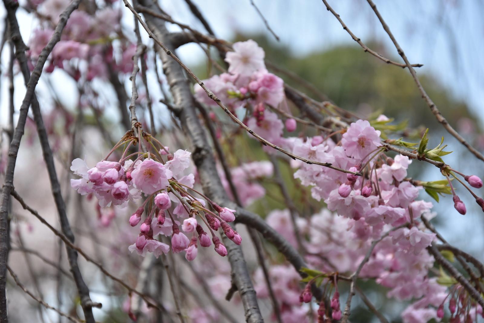 Sakura - Gyoen National Park
