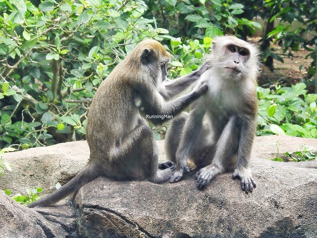 Crab-Eating Macaque Grooming