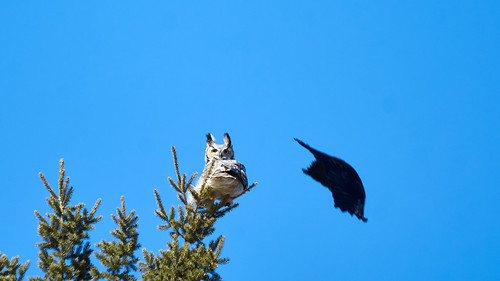 Eagle owl with crows 3