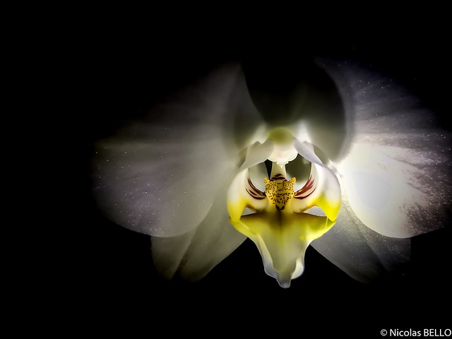 Orchid in the night