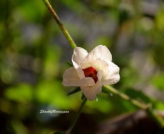 Gongura flower