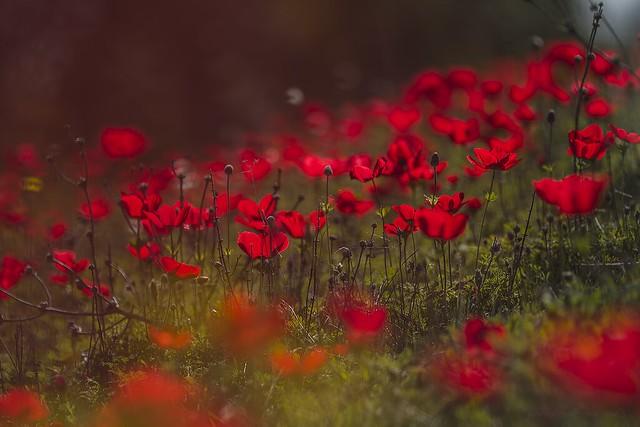 Field in red