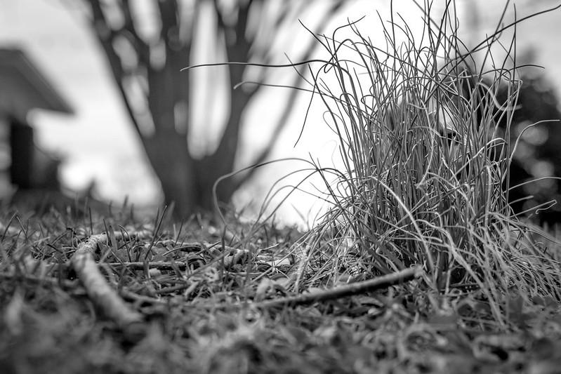 wild onions, lawn, twigs, tree in silhouette, Asheville, NC, Nikon D3300, mamiya sekor 80mm f-2.8, 2.16.19