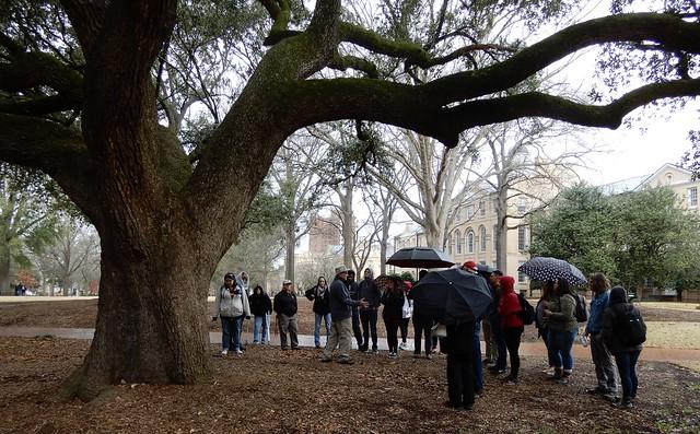 live-oak tree, Quercus virginiana