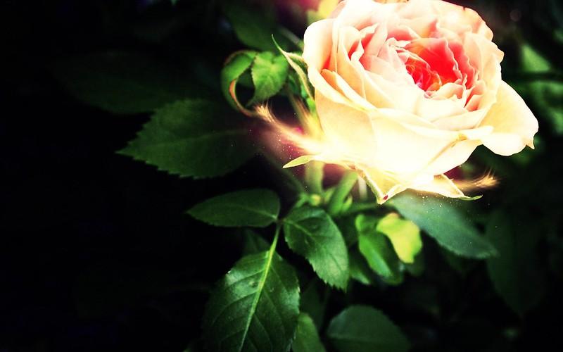 Обои роза, лепестки, свет картинки на рабочий стол, фото скачать бесплатно