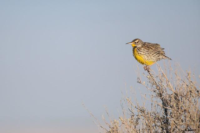 Sturnelle de l'Ouest / western meadowlark