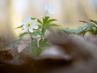 Anemone reaching for the spring light | by schauplatz