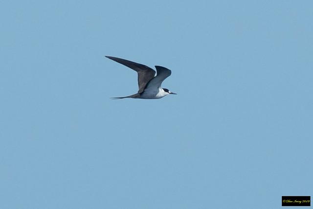 Sooty Tern (Onychoprion fuscatus serratus)