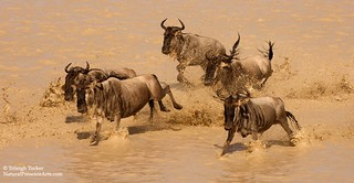 Wildebeest stampeding | by Trileigh