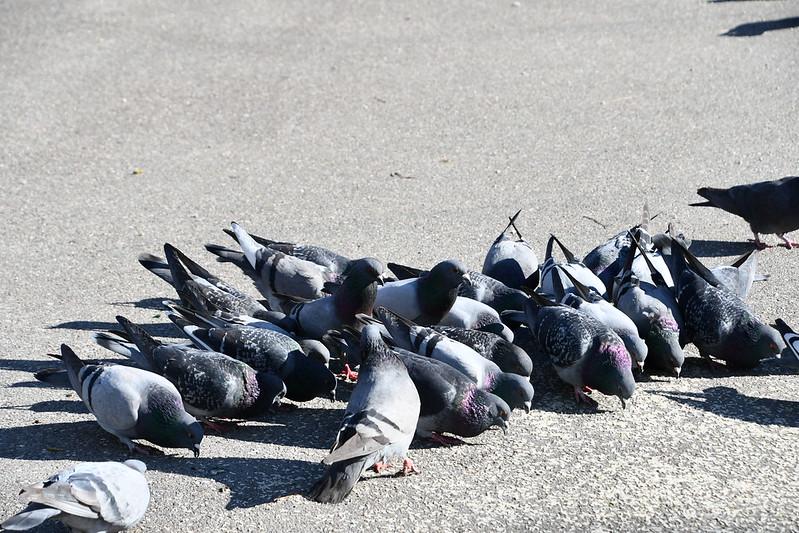 Pigeons 26.03 (2)