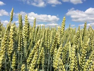 Ahus wheat fields | by DarleneEats