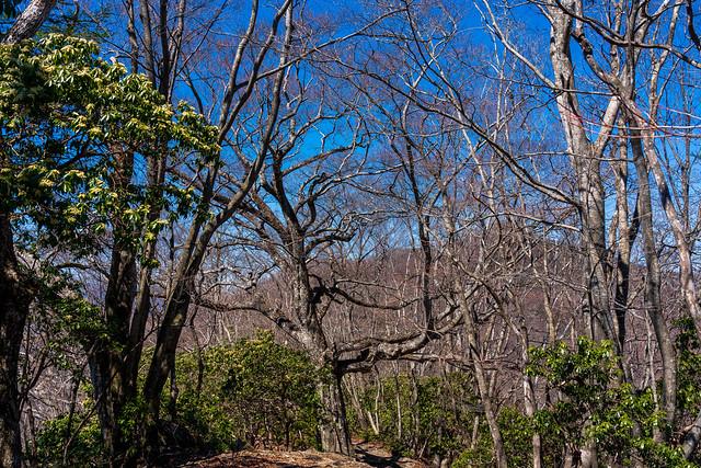 アセビとブナの大木
