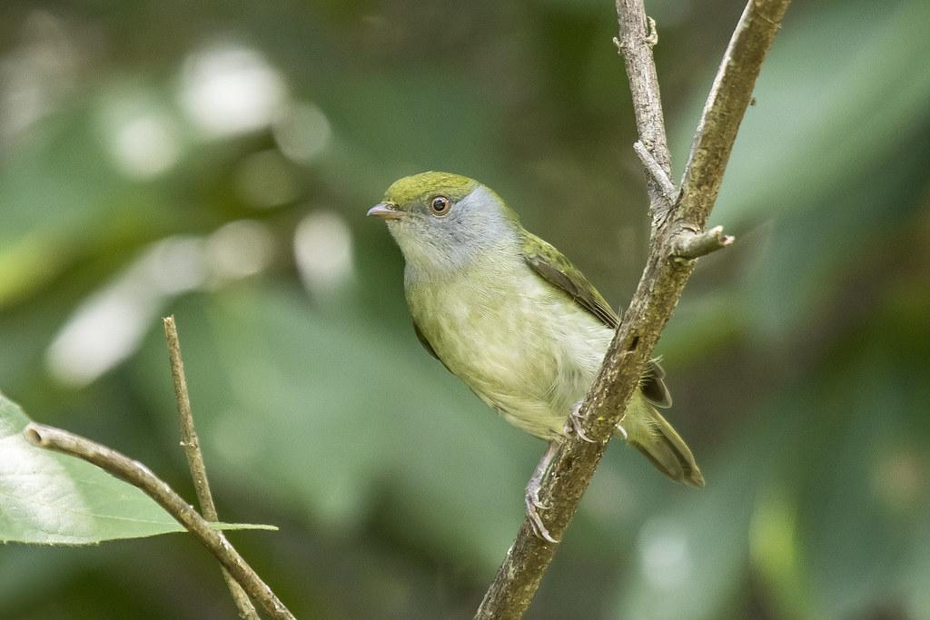 tangarazinho-femea (Ilicura militaris) Nome em Inglês Pin-tailed Manakin-female
