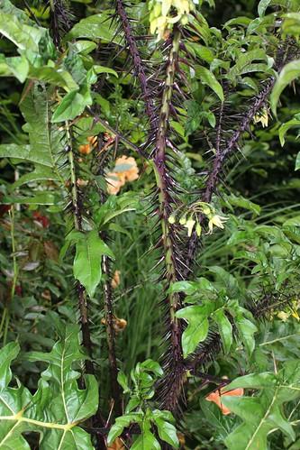 Solanum atropurpureum - diable pourpre 32668442458_75115850fd