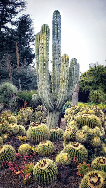 In the cactus garden at the Huntington Library in Los Angeles