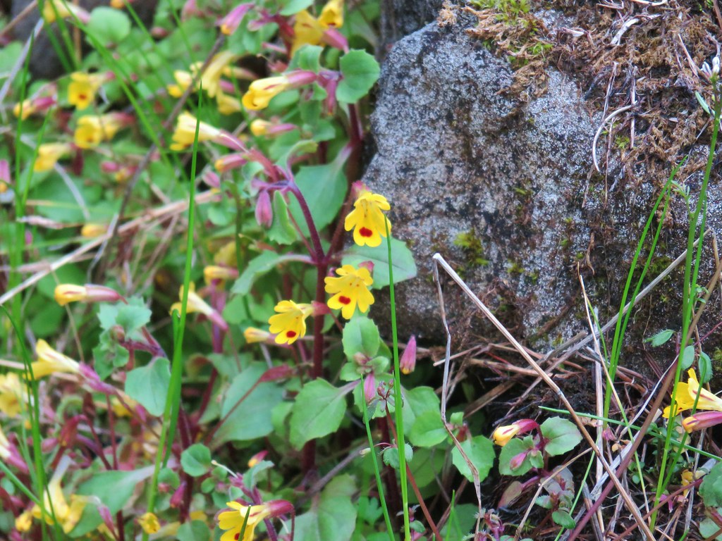 Chickeweed monkeyflower