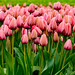 Tulips by Flying Robin Photography