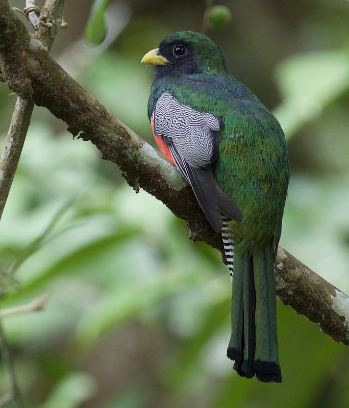 Collared Trogon. Trogon collaris Ascanio_Peruvian Amazon  199A6433