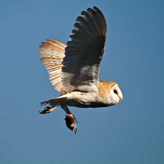 Barn Owl (with lunch)
