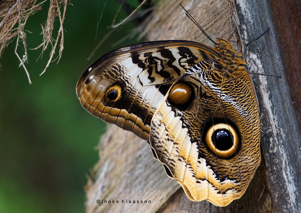 Owl butterfly <--> 15 cm (in Explore 12 Febr. 2019) Smile on Saturday - Shades of Brown