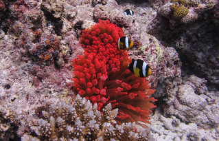 Red sanctuary @ Holiday Thila -divesite | by TimoOK
