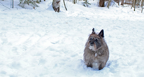 vermont winter snow nature animals dogs cairnterriers pets