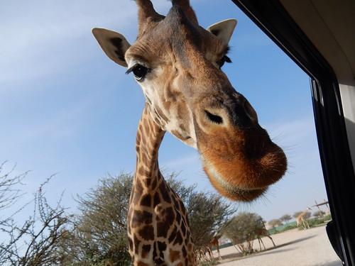 Al Ain Zoo - safari - 3