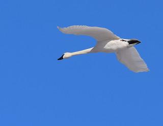 Swans 2019-9