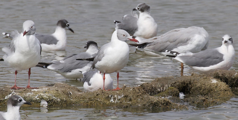 Gray-hooded Gull, Chroicocephalus cirrocephalus and Franklin's Gull, Leucophaeus pipixcan Amazon Cruise_Ascanio_Lima area 199A7592