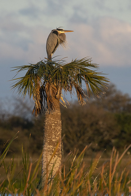 Viera Wetlands: Great Blue Heron at Dusk