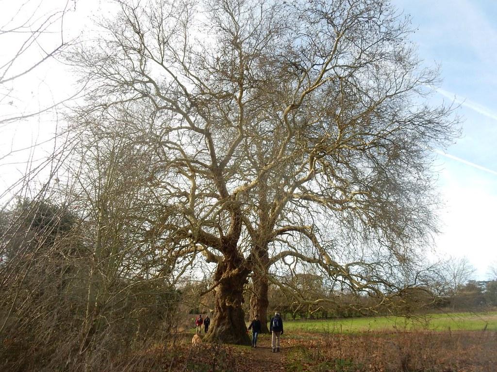 Big trees Shiplake to Henley