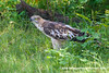 Crested Hawk-eagle (Nisaetus cirrhatus ceylanensis), adult DSC_1353 by fotosynthesys