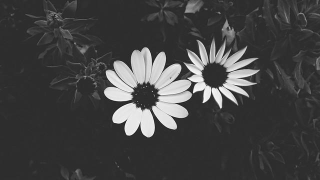 Dos Colores Para Flor de Pasión