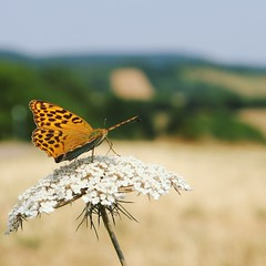 vlinder Keizersmantel