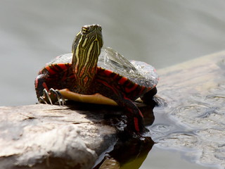 Painted Turtle, Chrysemys picta (2)   by Herman Giethoorn