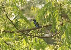 Splendid sunbird Shai Hills Resource Reserve in Ghana