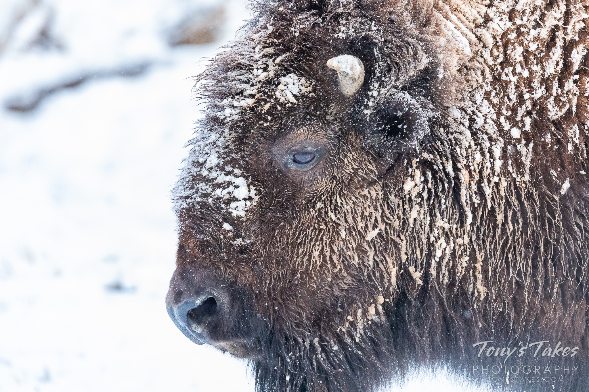 A bison bull wears the remnants of a snowstorm on the Colorado plains. (© Tony's Takes)