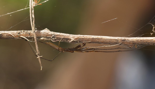Tetragnatha or Long Jawed Spider.