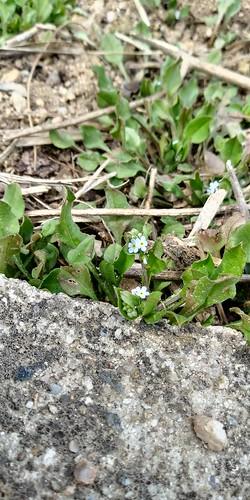 우지네골 봄꽃 산책길 | 꽃마리