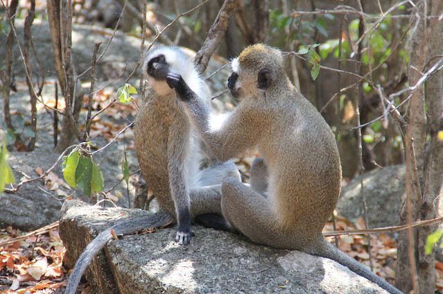 Vervet Monkeys Grooming-3