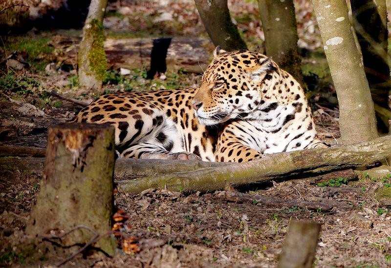 Jaguars  ajout 33711918328_0af7a0056a_b