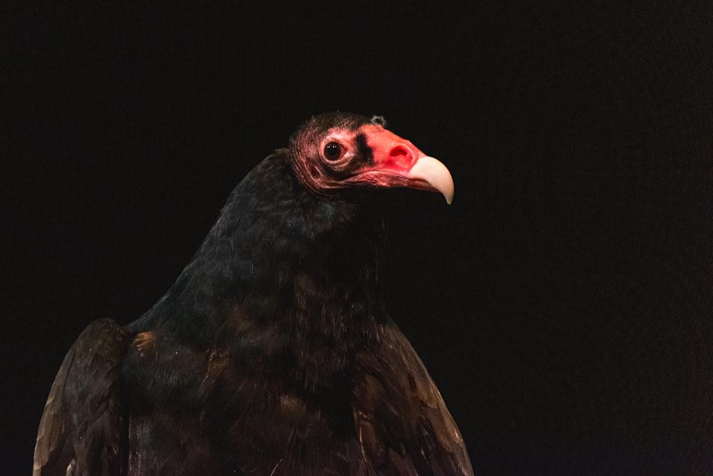 A close up shot of a turkey vulture