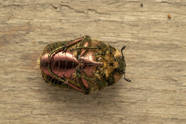 Green rose chafer (lat.Cetonia aurata)
