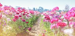 The Flower Fields 3.30.19 4
