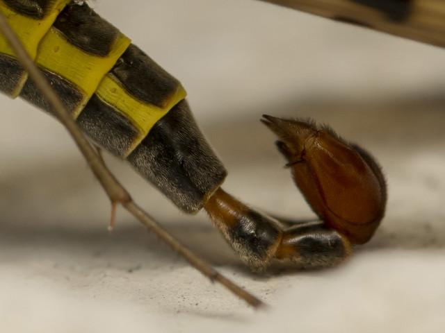 Scorpionfly (lat.Panorpa communis, male)