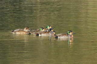 Baikal teals swimming together
